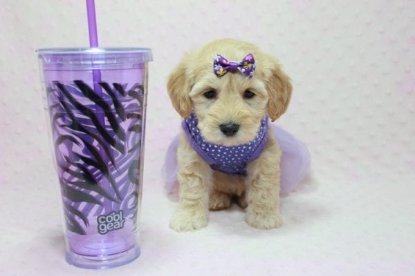 Blondie - Toy Maltipoo Puppy Found Her Loving Home with William from Castaic CA 91384-12530