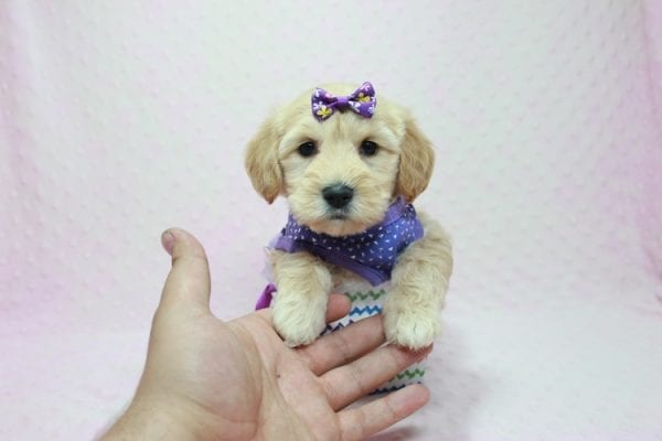 Blondie - Toy Maltipoo Puppy Found Her Loving Home with William from Castaic CA 91384-12537