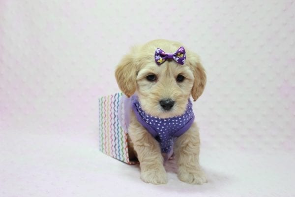 Blondie - Toy Maltipoo Puppy Found Her Loving Home with William from Castaic CA 91384-12539