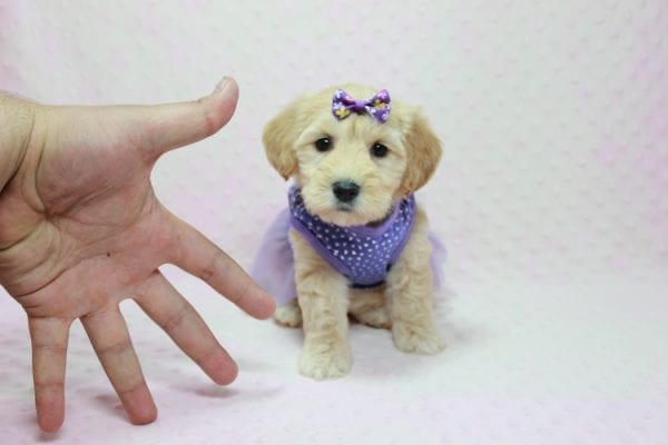 Blondie - Toy Maltipoo Puppy Found Her Loving Home with William from Castaic CA 91384-12533