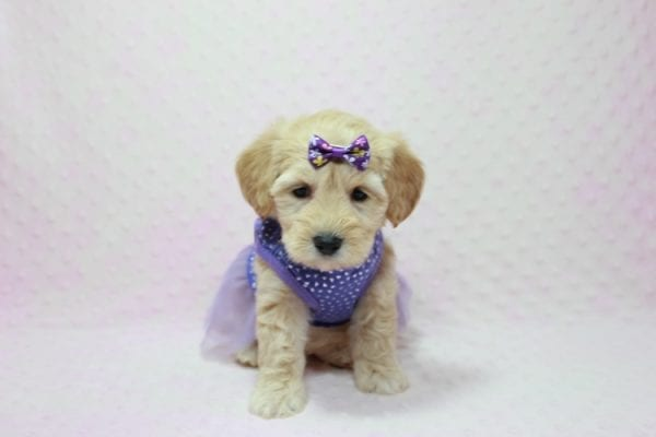 Blondie - Toy Maltipoo Puppy Found Her Loving Home with William from Castaic CA 91384-12535