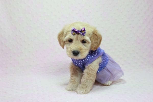 Blondie - Toy Maltipoo Puppy Found Her Loving Home with William from Castaic CA 91384-12536