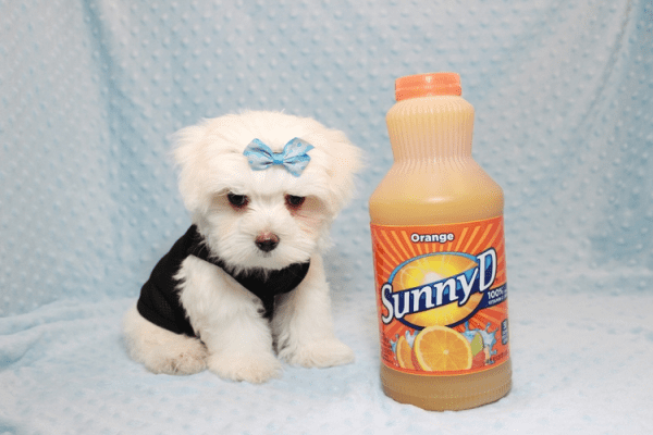 Bolt - Teacup Maltese Puppy In L.A Found A New Loving Home -0