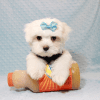Bolt - Teacup Maltese Puppy In L.A Found A New Loving Home -12653