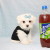 Bolt - Teacup Maltese Puppy In L.A Found A New Loving Home -12650