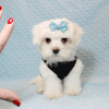 Bolt - Teacup Maltese Puppy In L.A Found A New Loving Home -12651
