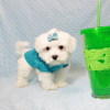 Buddy - Teacup Maltese Puppy has found a good loving home with Juan from Lindsay, CA 93247-12715