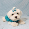Buddy - Teacup Maltese Puppy has found a good loving home with Juan from Lindsay, CA 93247-12718