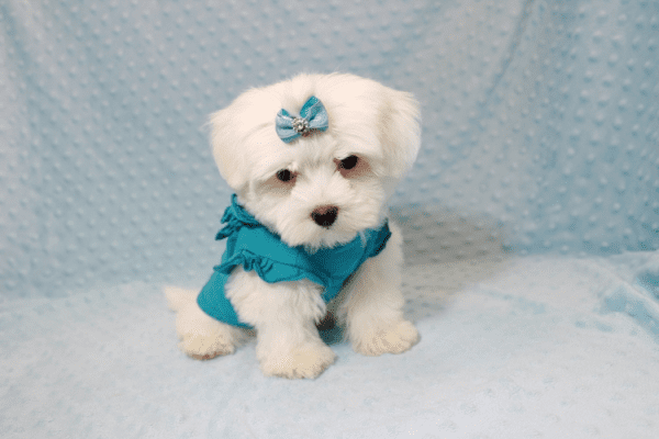 Buddy - Teacup Maltese Puppy has found a good loving home with Juan from Lindsay, CA 93247-12717