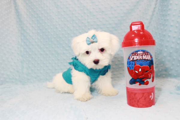 Buddy - Teacup Maltese Puppy has found a good loving home with Juan from Lindsay, CA 93247-0
