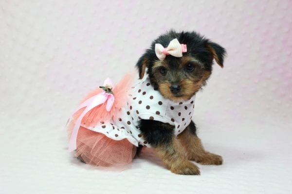 Bundle Of Love - Small Yorkie Puppy found her loving home with Angelique in Granada Hills, CA-12822
