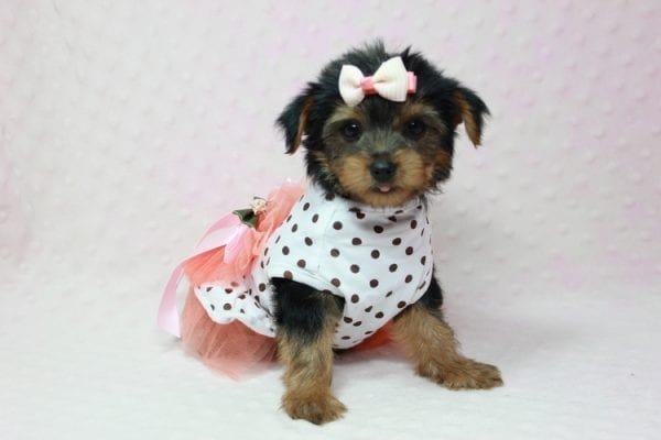 Bundle Of Love - Small Yorkie Puppy found her loving home with Angelique in Granada Hills, CA-12824