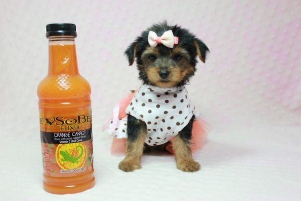 Bundle Of Love - Small Yorkie Puppy found her loving home with Angelique in Granada Hills, CA-12819