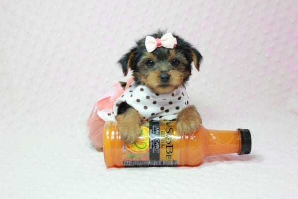 Bundle Of Love - Tiny Teacup Yorkie Puppy In LA