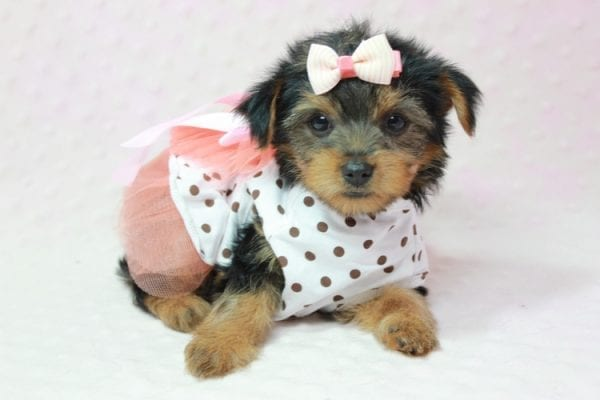 Bundle Of Love - Small Yorkie Puppy found her loving home with Angelique in Granada Hills, CA-12823