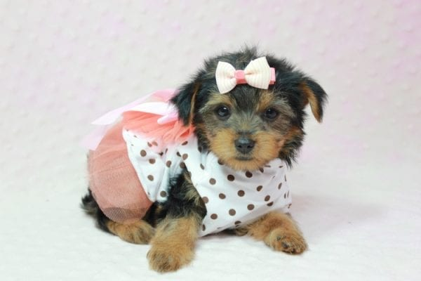 Bundle Of Love - Small Yorkie Puppy found her loving home with Angelique in Granada Hills, CA-12821