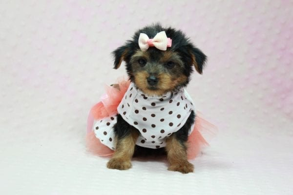 Bundle Of Love - Small Yorkie Puppy found her loving home with Angelique in Granada Hills, CA-12818