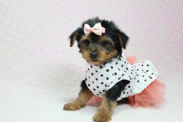Bundle Of Love - Small Yorkie Puppy found her loving home with Angelique in Granada Hills, CA-12820