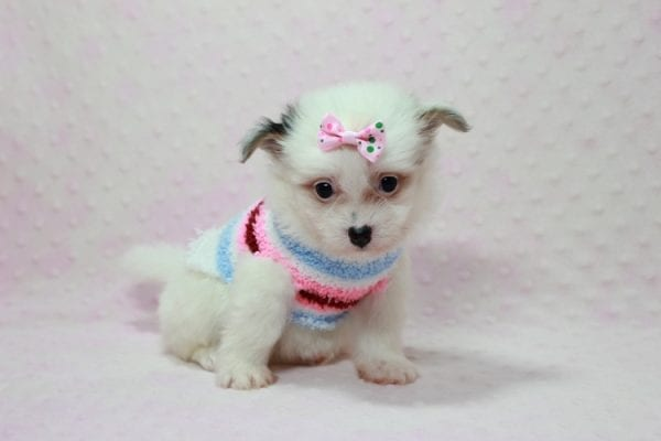 Chelsea - Teacup Pomtese Puppy Found A New Loving Home With Anisa From Surprise AZ 85374-12547