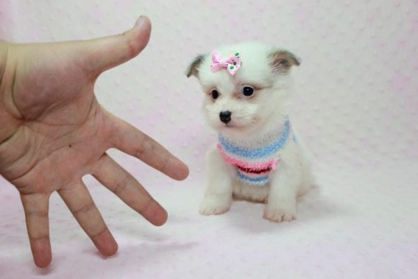 Chelsea - Teacup Pomtese Puppy Found A New Loving Home With Anisa From Surprise AZ 85374-12546