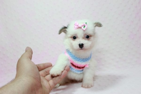 Chelsea - Teacup Pomtese Puppy Found A New Loving Home With Anisa From Surprise AZ 85374-12548
