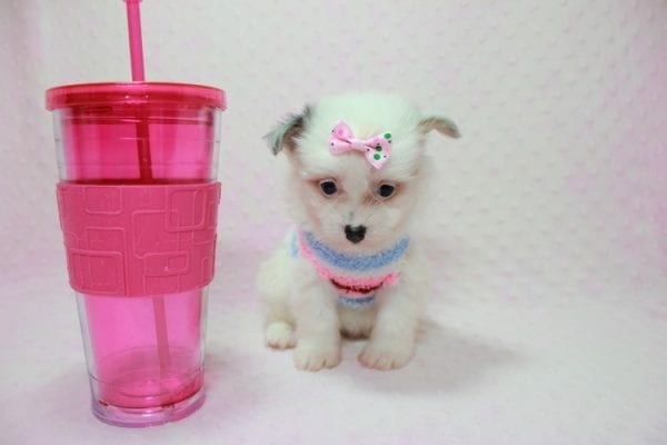 Chelsea - Teacup Pomtese Puppy Found A New Loving Home With Anisa From Surprise AZ 85374-0