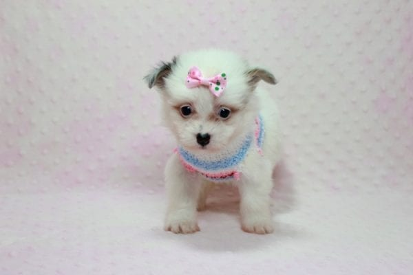 Chelsea - Teacup Pomtese Puppy Found A New Loving Home With Anisa From Surprise AZ 85374-12542