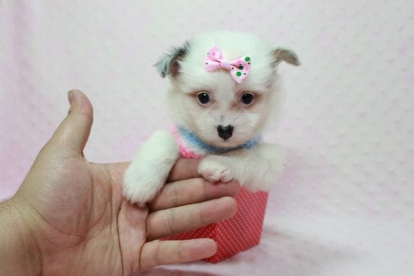 Chelsea - Teacup Pomtese Puppy Found A New Loving Home With Anisa From Surprise AZ 85374-12544
