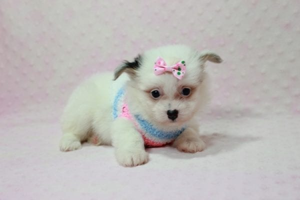 Chelsea - Teacup Pomtese Puppy Found A New Loving Home With Anisa From Surprise AZ 85374-12545