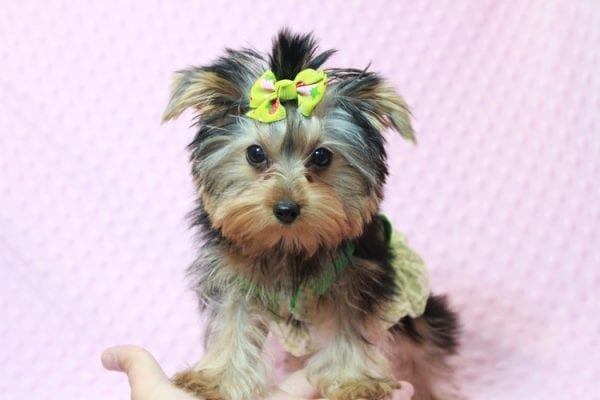 Daiquiri - Tiny Teacup Yorkie Puppy has found a good loving home with Matthew from Los Lunas, NM 87031-12962