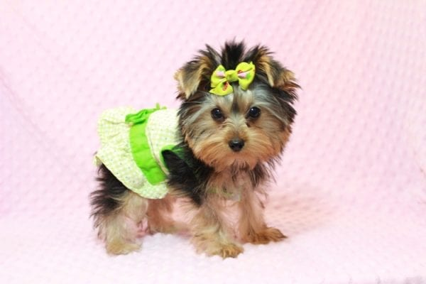 Daiquiri - Tiny Teacup Yorkie Puppy has found a good loving home with Matthew from Los Lunas, NM 87031-12958