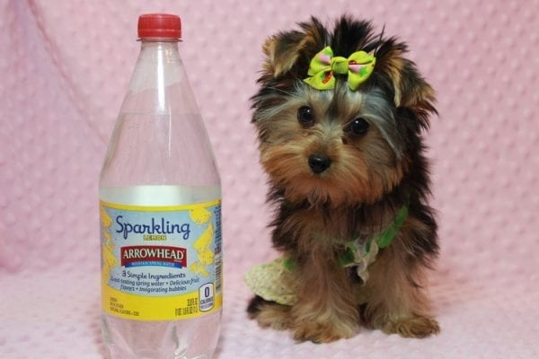 Daiquiri - Tiny Teacup Yorkie Puppy has found a good loving home with Matthew from Los Lunas, NM 87031-12960