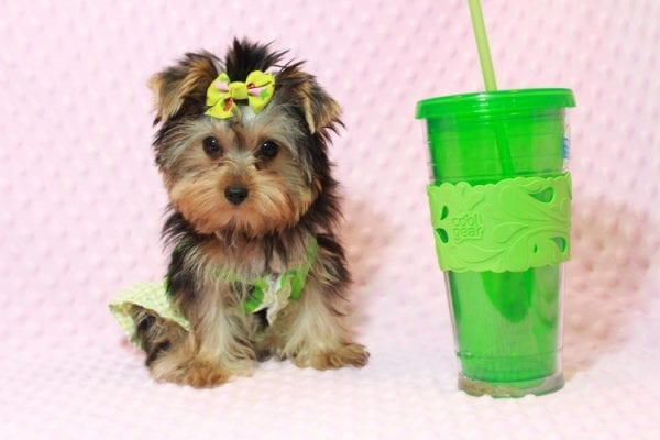 Daiquiri - Tiny Teacup Yorkie Puppy has found a good loving home with Matthew from Los Lunas, NM 87031-0