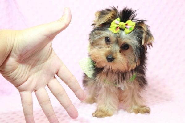 Daiquiri - Tiny Teacup Yorkie Puppy has found a good loving home with Matthew from Los Lunas, NM 87031-12959