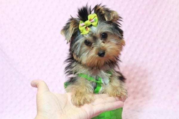 Daiquiri - Tiny Teacup Yorkie Puppy has found a good loving home with Matthew from Los Lunas, NM 87031-12957