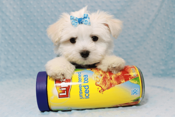 Dexter - Maltese Puppy Has Found A Loving Home With Ohan in La Quinta, CA!-12693