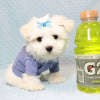 Dexter - Maltese Puppy Has Found A Loving Home With Ohan in La Quinta, CA!-12689