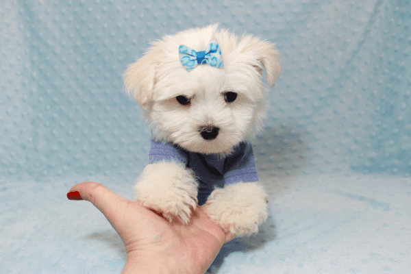 Dexter - Maltese Puppy Has Found A Loving Home With Ohan in La Quinta, CA!-12690