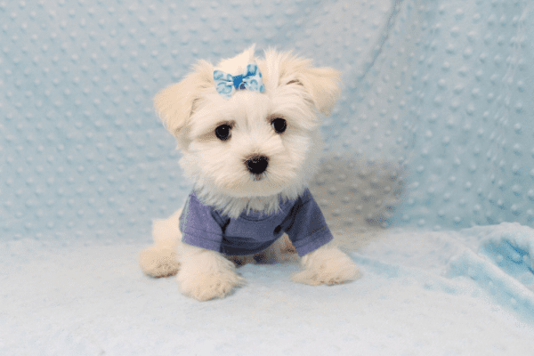 Dexter - Maltese Puppy Has Found A Loving Home With Ohan in La Quinta, CA!-12692