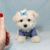 Dexter - Maltese Puppy Has Found A Loving Home With Ohan in La Quinta, CA!-12691