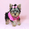 Little Diamond - Tiny Teacup Yorkie Puppy has found a good loving home with Heidi from Las Vegas, NV 89139-12612