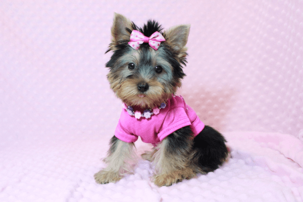 Little Diamond - Tiny Teacup Yorkie Puppy has found a good loving home with Heidi from Las Vegas, NV 89139-12616