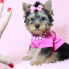 Little Diamond - Tiny Teacup Yorkie Puppy has found a good loving home with Heidi from Las Vegas, NV 89139-12614