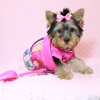 Little Diamond - Tiny Teacup Yorkie Puppy has found a good loving home with Heidi from Las Vegas, NV 89139-0