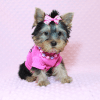 Little Diamond - Tiny Teacup Yorkie Puppy has found a good loving home with Heidi from Las Vegas, NV 89139-12610