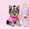 Little Diamond - Tiny Teacup Yorkie Puppy has found a good loving home with Heidi from Las Vegas, NV 89139-12613