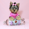 Little Diamond - Tiny Teacup Yorkie Puppy has found a good loving home with Heidi from Las Vegas, NV 89139-12611
