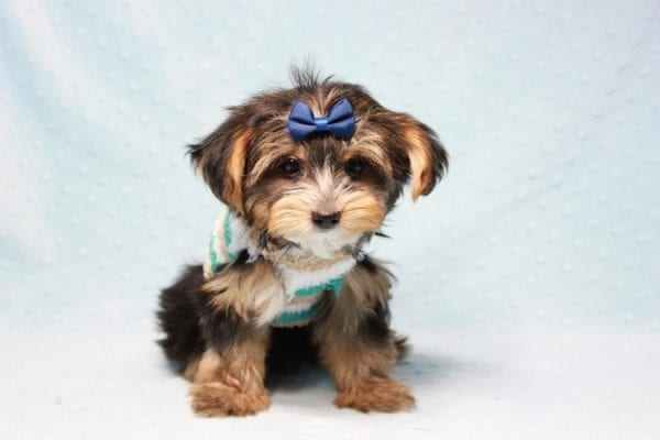 Donald Trump - Toy Yorkie Puppy found his loving home with Melissa in Malibu, CA-12752