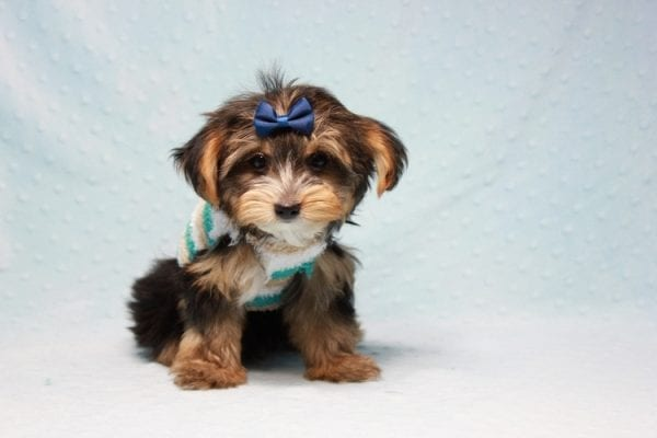 Donald Trump - Toy Yorkie Puppy found his loving home with Melissa in Malibu, CA-12754