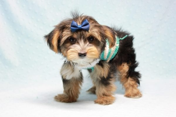 Donald Trump - Toy Yorkie Puppy found his loving home with Melissa in Malibu, CA-12751